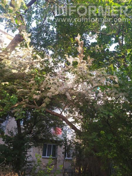 Зеленая жизнь в Севастополе: больные деревья и скандалы  2