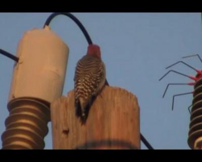 Видео дня: Жесть! Дятла долбануло током и он испарился! (реал видео)