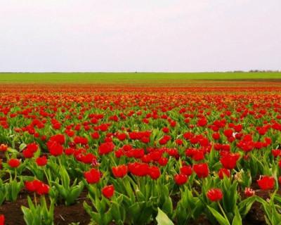 Удивительно! В Крыму расцвело самое большое в России поле тюльпанов (фото)