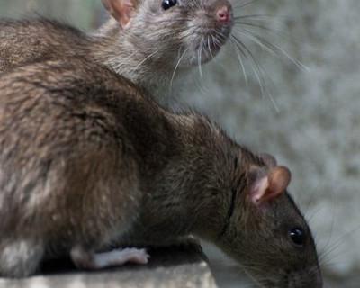 Где в Севастополе можно увидеть крыс?