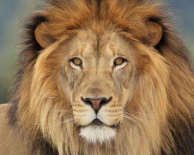 Крымские львы будут спасены!