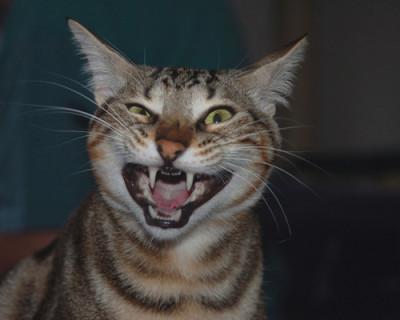 Бешеный кот стал причиной карантина в крымском селе