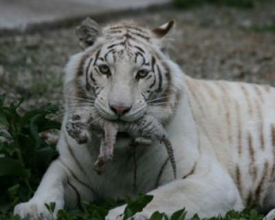 В зоопарке Ялты от холода умер безымянный тигрёнок