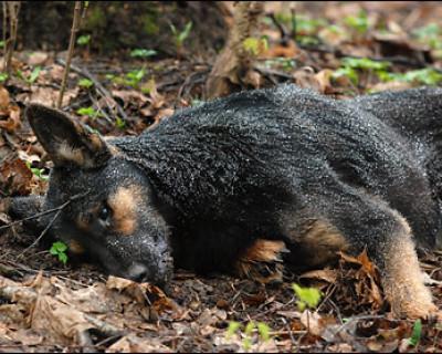 Внимание собаководам! В Севастополе травят животных без разбора.