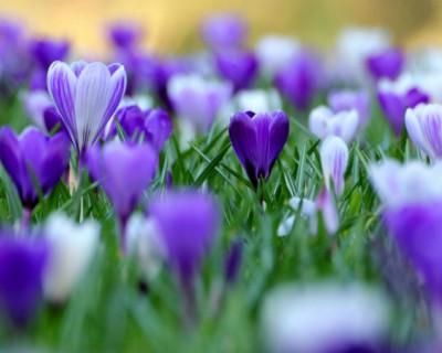 В Севастополе местные жители наслаждаются видом весенних цветов прямо посреди зимы (фото)