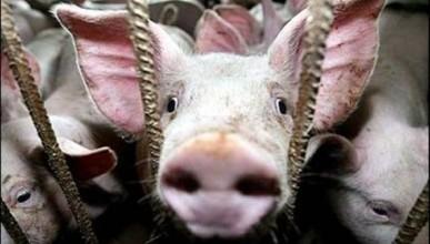 В Севастополе запретили ввоз мяса из очага африканской чумы
