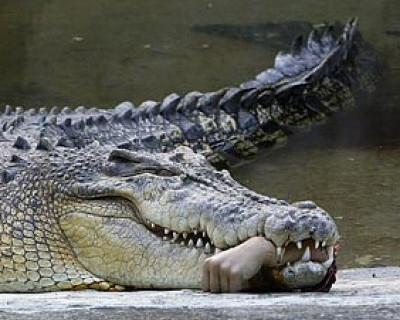Крокодилам прописали строжайшую диету: питаться только свежими российскими туристами (фото)