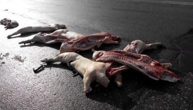 На трассе Симферополь-Феодосия валялись освежеванные туши животных