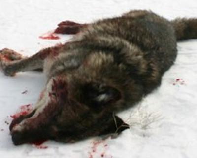 В Севастополе открыта охота на волков, лисе тоже не поздоровится
