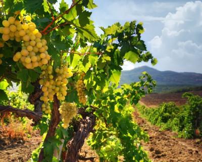 На севастопольской чаше весов: элитное вино или лакомая земля?