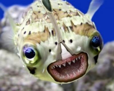 В Севастополе появились ядовитые рыбы