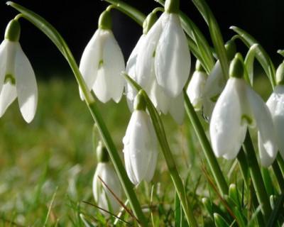 Севастопольцы обращаются к землякам – сохраним первоцветы!