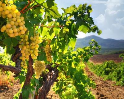 Глава города рассказал, что мешает севастопольскому виноделию