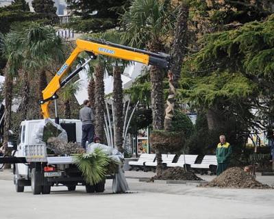 Стало известно, куда в Ялте пропадают пальмы