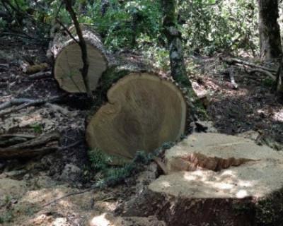МОЛНИЯ! В будущем заказнике на Ласпи продолжают вырубать краснокнижный лес и торговать апартаментами