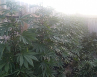 Марихуана лукоморье купить землю для выращивания марихуаны