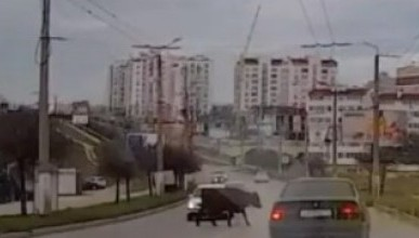 В Севастополе корова сбегает от хозяина и нарушает ПДД (ВИДЕО)