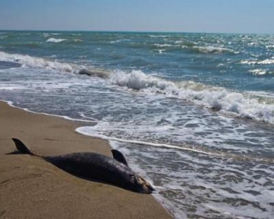 Украинские браконьеры убили почти пятьдесят дельфинов в Чёрном море