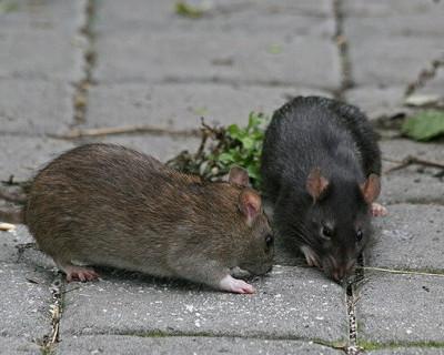 Крысы с Фадеева ушли на другую улицу