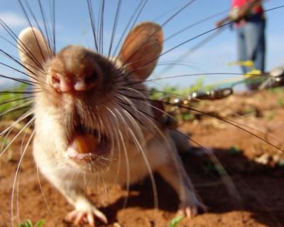 Крысы «покоряют» Севастополь