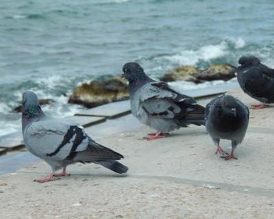 Почему на улицах Севастополя мы видим только взрослых голубей?