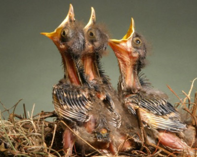 Птенцы «гнезда чаловского»
