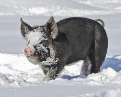 Почему 14 января называют Свиным праздником