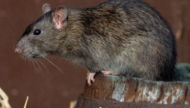В Москве нашли крысу-гиганта  в несколько раз больше кошки (ФОТО)