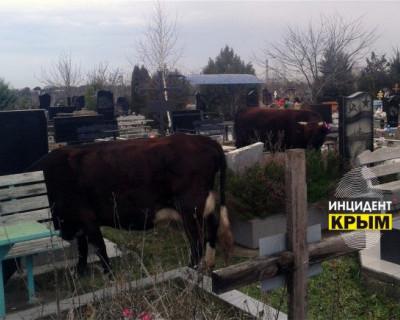 В Севастополе на могилах пасутся коровы (ФОТО)
