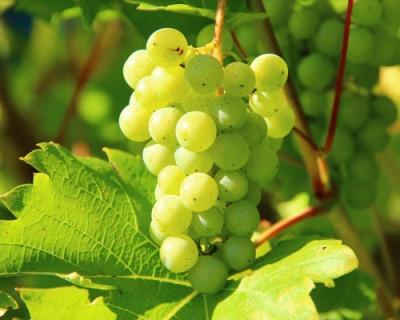 Стало известно, на сколько увеличится площадь виноградников в Севастополе