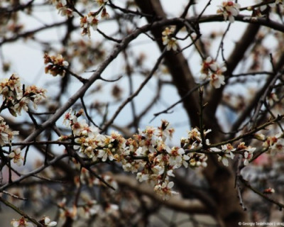 В Севастополе расцвёл миндаль (ФОТО)