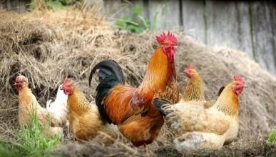 Дагестанец «нарисовал» сердце из куриц