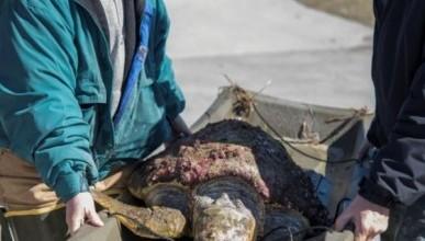 На берегу Черного моря была найдена гигантская черепаха
