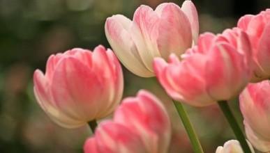 В Ялте массово расхищают тюльпаны с городских клумб
