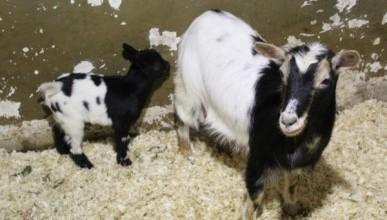 В Алуштинском зоопарке камерунские козочки стали мамами