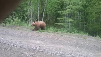 Хищник вытащил из авто продукты и убежал в лес (ВИДЕО)