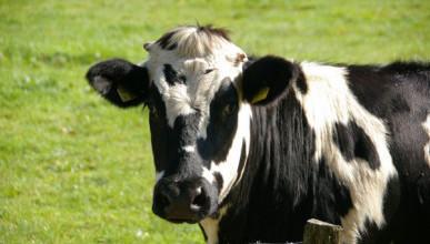 Гуляющая по крышам корова игнорировала людей (ВИДЕО)