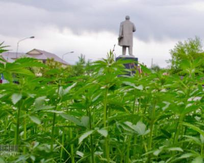 В российском городе на газонах возле памятника Ленину неожиданно взошла конопля (ФОТО)
