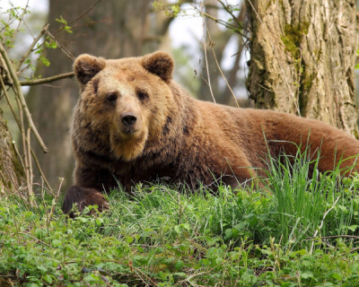 Россиянин откусил язык напавшему на него медведю и лёг в больницу (ФОТО)