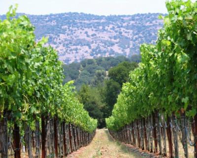 Мы все этому рады. В Севастополе в 2015 году высадят более 150 га виноградников