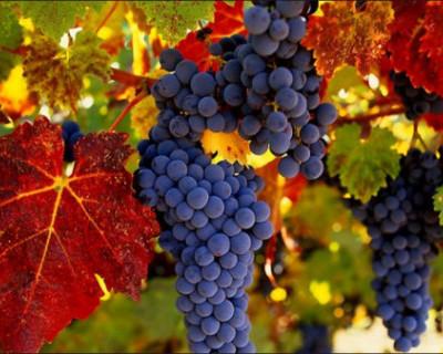 Крым занял третье место в России по сбору винограда