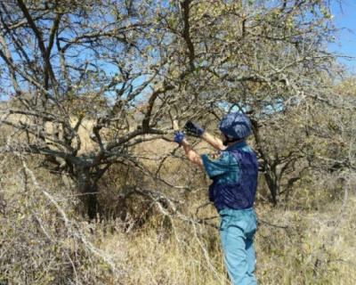В Крыму бомба провисела на дереве со времён Великой Отечественной войны