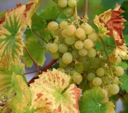 Госдума РФ поддержала отечественных виноделов