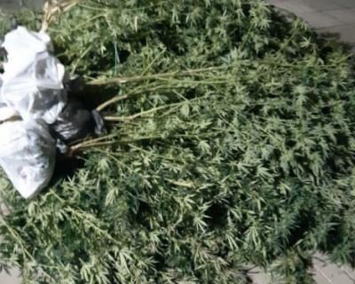Трое севастопольцев задержаны полицией за культивирование каннабиса (ФОТО)