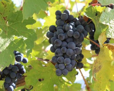 Севастопольские аграрии соберут рекордное количество винограда