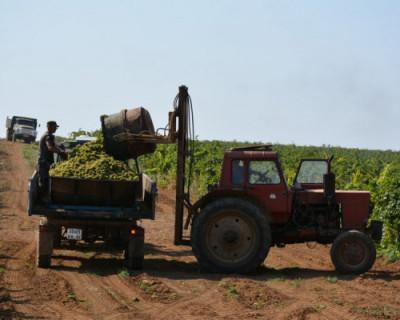 Севастопольские аграрии собрали рекордный урожай винограда
