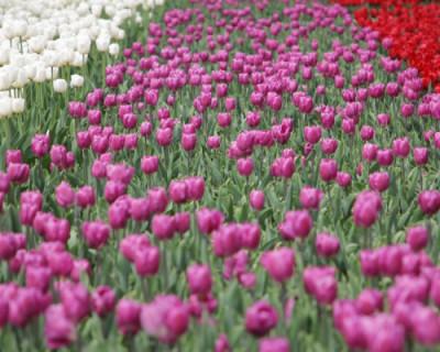 Севастополь украсят тюльпанами