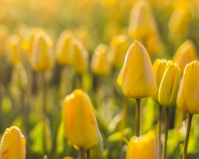 Почти детективная история: куда исчезают сотни тысяч тюльпанов в Севастополе?