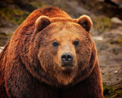 Большинство россиян за медведя