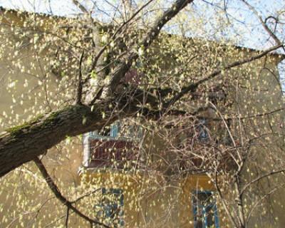 Вывезти упавшее дерево некому. Сотрудники севастопольских РЭПов  заняты  агитацией  за новые управляющие компании